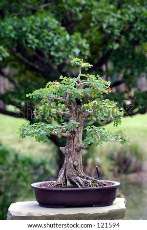 A Japanese bonsai tree shown directly in front of a full sized tree of the same kind. - stock photo