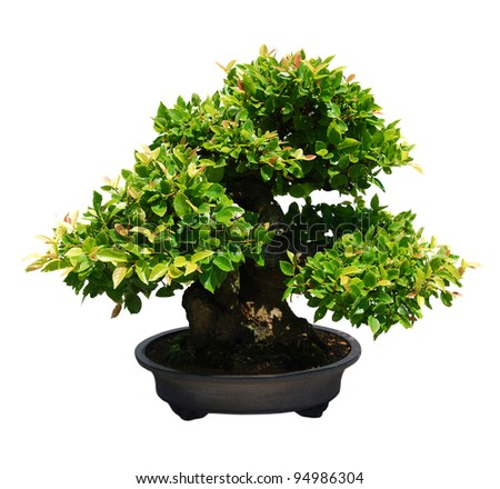 A japanese ficus bonsai against sunshine