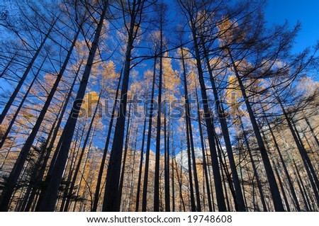 A Japanese larch - stock photo