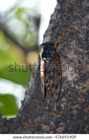 A Japanese large brown cicada-Graptopsaltria nigrofuscata- perched on a cherry tree in July.