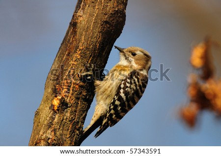 A Japanese Pygmy Woodpecker clinging to a tree trunk. - stock photo