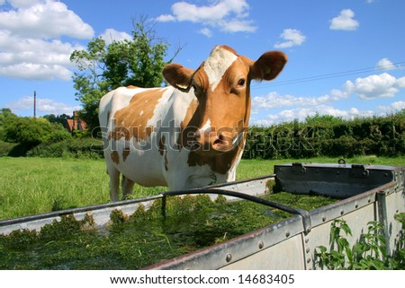 A Jersey cow comes to drink water at the drinking trough - stock photo