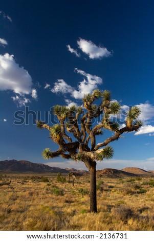 A Joshua Tree of Joshua Tree National Park, in the Mojave Desert of Southern California. - stock photo