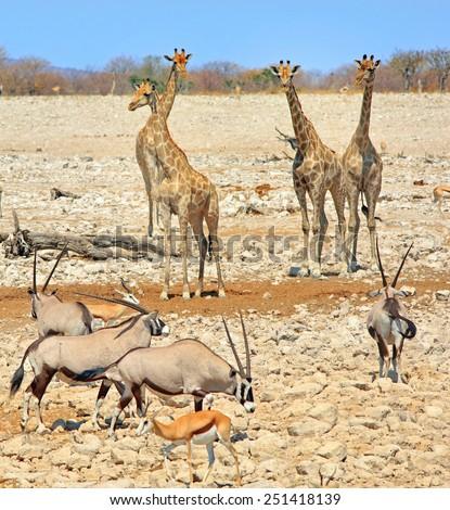 A journey of giraffe with a herd of Gemsbok Oryx in Etosha National Park - stock photo
