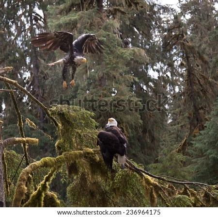 A juvenile bald eagle takes off from a tree branch with a mature bald eagle below watching - stock photo