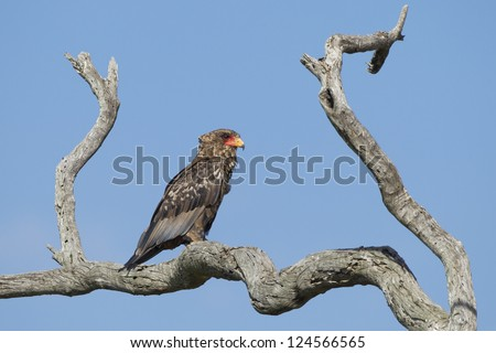 A Juvenile Bateleur Eagle perched on a dead Leadwood tree with a blue sky background  in South Africa's Kruger Park - stock photo