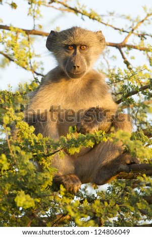 A juvenile Chacma Baboon sitting in a tree (Papio ursinus), South Africa - stock photo