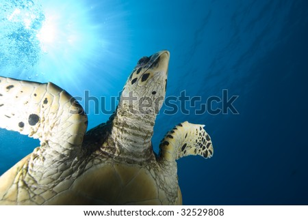 A juvenile Hawksbill turtle (Eretmochelys imbricata) and sun, underneath view. Red Sea, Egypt. - stock photo