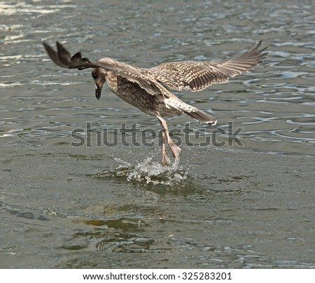 A Juvenile Herring Gull is playing around in the water
