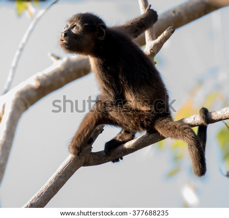 A juvenile howler monkey looks up at some monkeys above him - stock photo