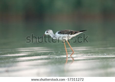 a juvenile of black-winged  stilt - Himantopus himantopus - stock photo