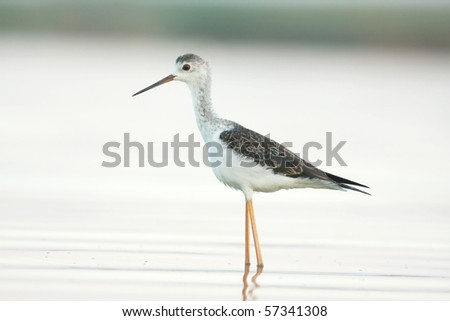 a juvenile of black-winged stilt looking for food