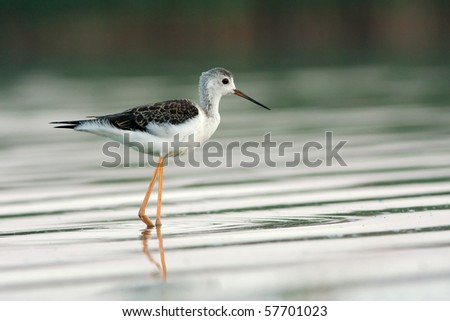 a juvenile of black-winged stilt looking for food - stock photo