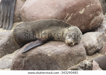 A juvenile south African fur seal sleeping very cutely on a rocky shoreline - stock photo