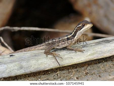 A juvenile Striped or Brown Basilisk, Basiliscus vittatus, the lizard that runs on water, near a beach in western Costa Rica - stock photo