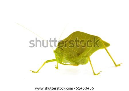A katydid, green leaf bug isolated on white - stock photo