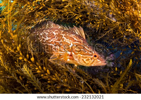 A kelpfish hiding in Sargassum uses these algae to blend in and hide from predators - stock photo