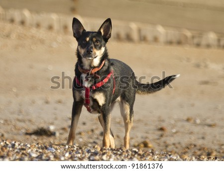 A Kelpie Dog cross with a Border Collie standing on a beach wearing an id collar and harness. Taken with an out of focus background of pebbles. - stock photo