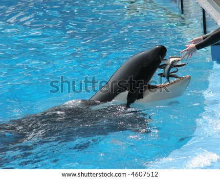 A killer whale being fed fish