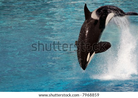 A killer whale jumping out of the water - stock photo