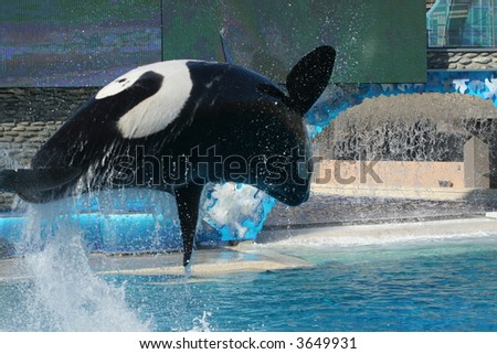 a killer whale jumps out of water - stock photo