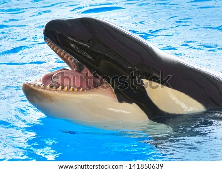 A killer whale, Orcinus Orca - stock photo