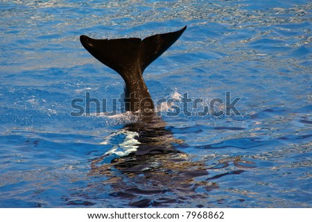 A killer whale's tail coming out of the water