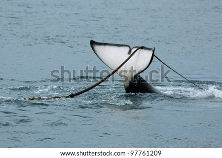 A killer whale surfaces with kelp draped over its tail. - stock photo