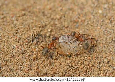 a kind of ants named mercerized brown forest ants