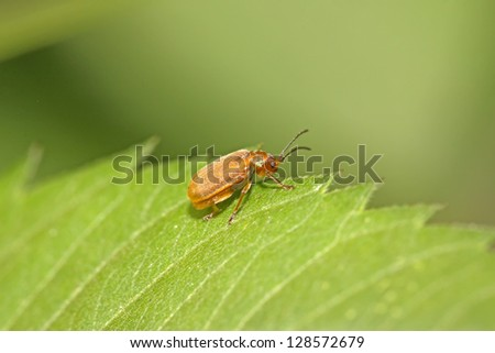 a kind of insects on a green leaf, taken photos in natural wild state, Luannan County, Hebei Province, China.