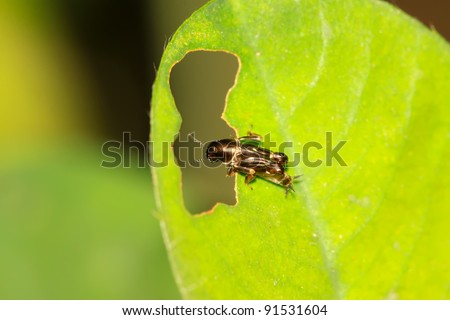 a kind of orthoptera insects on the ground - stock photo