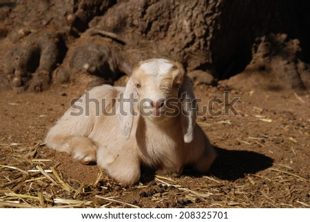 A Kinder buckling looks at the camera in rural California. He is a Boer & Kinder cross. Kinders are dual purpose goats while Boers are a meat breed. This is a twin from a Kinder doe & Boer buck - stock photo