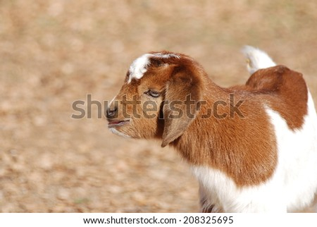 A Kinder buckling looks out over the pasture in rural California. He is a Boer & Kinder cross. Kinders are dual purpose goats while Boers are a meat breed. This is a twin from a Kinder doe & a BoerX - stock photo
