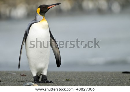 A King Penguin standing on the beach, looking out over the sea - South Georgia - stock photo