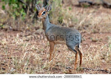 A Kirk's Dikdik near Lake Bogoria, Kenya - stock photo
