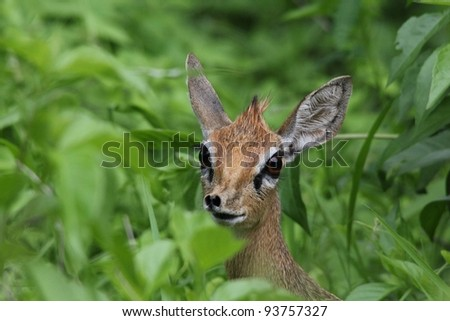 A kirks DikDik seen in Ruaha National Park, Tanzania - stock photo