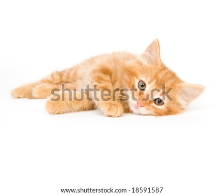 A kitten lays down on a white background and looks towards the camera - stock photo