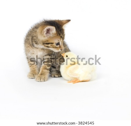 A kitten plays with a baby chick on a white background. Both are being raised on a farm in Illinois - stock photo
