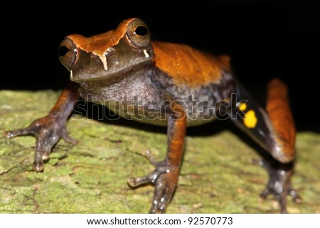 A Koechlin's Treefrog (Dendropsophus koechlini) in the Peruvian Amazon Isolated and lots of space for text - stock photo