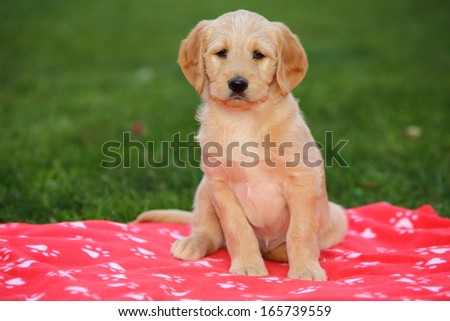 A Labradoodle (A Labrador Retriever and a Poodle designer crossbreed) sits on a red blanket. - stock photo