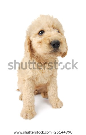 A Labradoodle puppy sitting and looking up, on white background. - stock photo