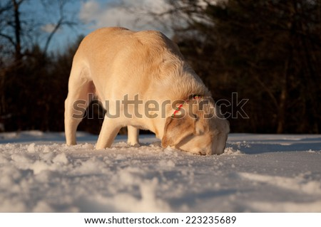 A labrador digs deep in the snow for the tennis ball that has just been thrown. - stock photo