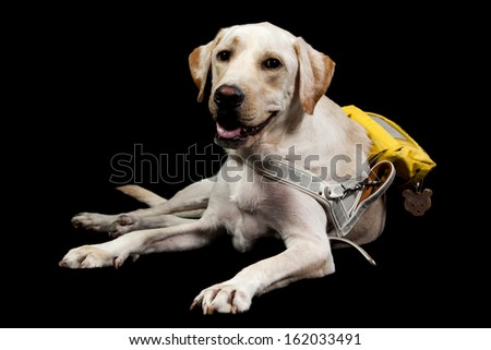 a labrador guide dog for blind people with working packpack and handle - stock photo