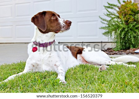 A Labrador retriever, English Springer Spaniel and Plot Hound mix at 1 year and 10 months happily keeping watch on her new permanent home, alert to any intruders. - stock photo