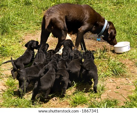 A Labrador Retriever Mom is chased by her whole litter for lunch! - stock photo