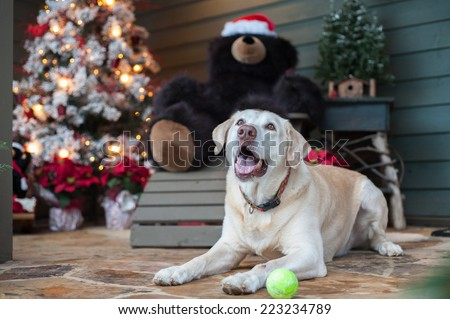 A Labrador sits by the Christmas tree with his tennis ball waiting for someone to play with him. - stock photo