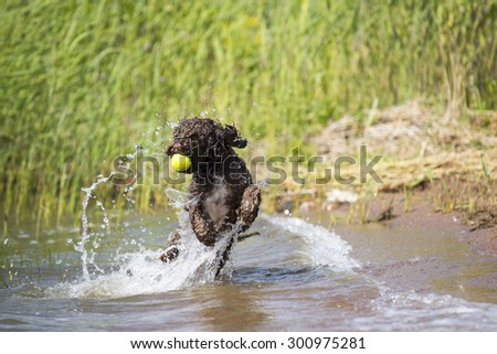 A lagotto romagnolo is fetching the ball from the sea. The dog is enjoying a lot about the running in a water. The dog's breed is also known as Italian waterdog.