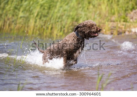 A lagotto romagnolo is jumping out from the sea. The dog is full of joy when running in the water. The dogs breed is also known as Italian waterdog.