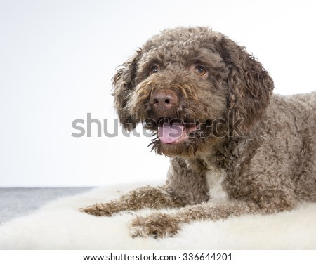 A lagotto romagnolo portrait. Image taken in a studio. The breed is also known as the truffle dog or Italian waterdog. - stock photo