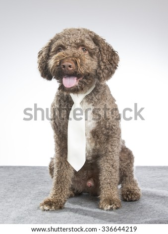 A lagotto romagnolo portrait with a white tie. Image taken in a studio. The breed is also known as the truffle dog or Italian waterdog. - stock photo